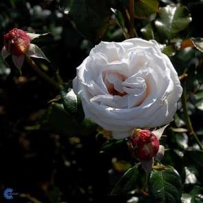 Storblomstret rose (Rosa 'Royal Copenhagen' ) - Storblomstret rose i 4 l potte