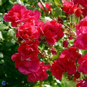 Bunddækkende rose (Rosa 'Sommermärchen'®) - Rose i 4 l potte