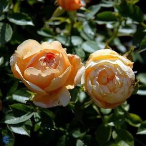 Bunddækkende rose (Rosa 'Amber Cover' ® Poulambre (N)) - Towne- & Countryrose i 4 l potte