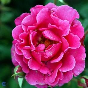 Buketrose (Rosa 'Prinsesse Alexandra' ® ) - Renaissancerose i 4 l potte
