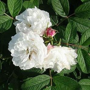 Buskrose (Rosa 'Louis Bugnet') - Historisk/sjælden sort i 4 l potte