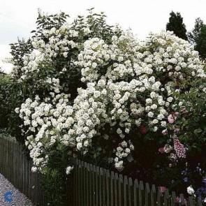 Buskrose (Rosa 'Helenae Hybrida') - A-kval. Barrodet - Sælges kun i bundter a 5 stk