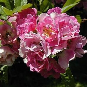 Busk- og klatrerose(Rosa 'Applejack') - Barrodet A-kval  Sælges kun i bundter a 5 stk