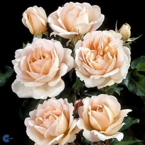 Buketrose (Rosa 'Julia Rennaissance') - Barrodsrose. A-kval. Sælges kun i bundter på 5 stk