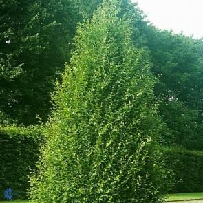 Pyramideavnbøg (Carpinus betulus 'Fastigiata') - MK 175-200 cm