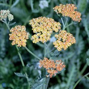 Røllike (Achillea millefolium 'Terracotta') - Staude i 1 liter potte