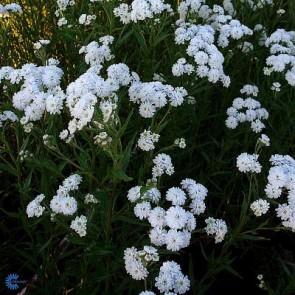 Hvid knap (Achillea ptarmica 'Boule de Neige') - Staude i 1 liter potte