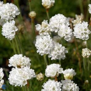 Engelsk græs (Armeria maritima 'Alba Minor') - Staude i 10 x 10 cm potte - Sælges kun i pakke á 3 stk.