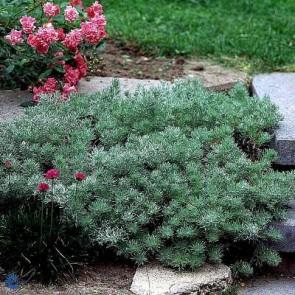 Krybende Sølvbynke (Artemisia schmidtiana 'Nana') - Staude i 10 x 10 cm potte