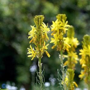 Kejserlys (Asphodeline lutea) - Staude i 1 liter potte - Sælges kun i pakke á 3 stk.