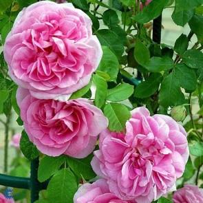 Engelsk rose (Rosa 'Gertrude Jekyll') - Barrodsrose. A-kval. Sælges kun i bundter a 5 stk