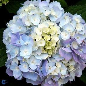 Have-hortensia (Hydrangea macrophylla 'Endless Summer') - Buske i 5 liters potte