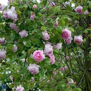 Engelsk rose (Rosa 'Constance Spry') - Austinrose (engelsk rose) i 6 l potte