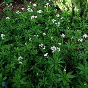 Skovmærke (Galium odoratum) - Staude i 10 x 10 cm potte