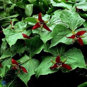 Treblad (Trillium erectum) - Staude i 10 x 10 cm potte - Sælges kun i pakke á 3 stk.