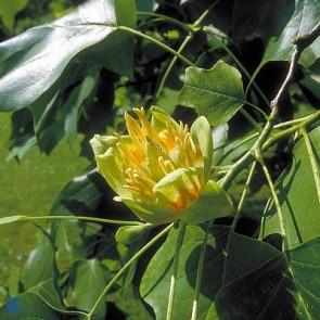 Tulipantræ (Liriodendron tulipifera) - CO 150-175 cm.