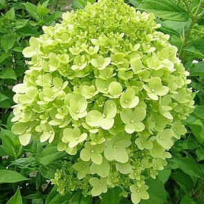 Have-hortensia (Hydrangea paniculata 'Limelight') - Buske i 5 liters potte