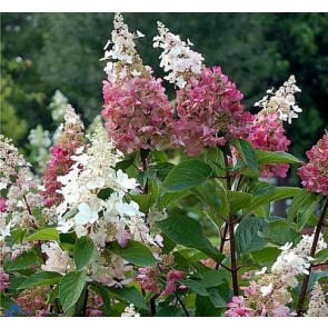 Hortensia (Hydrangea paniculata 'Pinky Winky' - Buske i 5 liters potte