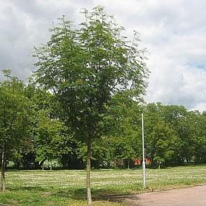 Japansk røn (Sorbus commixta 'Dodong') Træ i potte 150-175 cm
