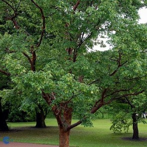 Papirbarkløn (Acer griseum) -Træ i potte 125-150 cm