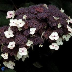 Havehortensia (Hydrangea aspera 'Macrophylla') - C5,0 buske