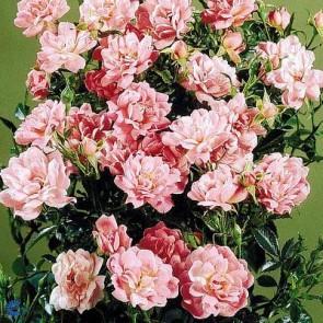 Bunddækkende rose (Rosa 'Easy Cover' ®) - Barrodsrose A-kvalitet - Sælges kun i bundter á 5 stk
