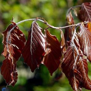 Blodbøg (Fagus sylvatica atropurpurea) - (LEVERING FRA 12. OKT.) - Barrodet hæk 50-80 3 års