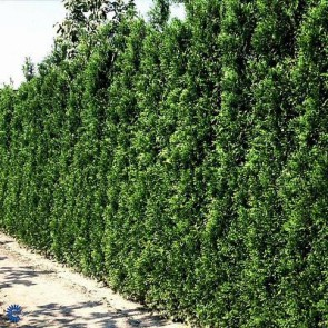 Thuja (Thuja occidentalis 'Brabant') - 3 liter potte 60-80 cm