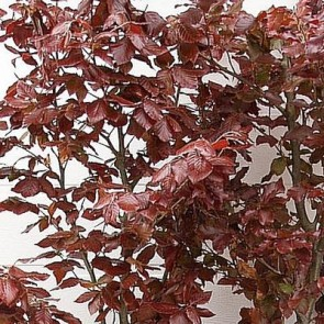 PRIMA FÆRDIGHÆK® Rødbøg (Fagus sylvatica 'Purpurea') - 150 cm.