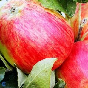 Æbletræ 'Guldborg', middelvoksende - 3 års træ i potte 150-200 cm