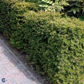 Almindelig taks (Taxus baccata) - Hæk 20-40 cm