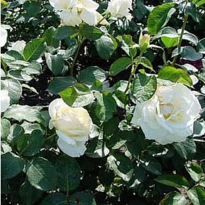 Slyngrose (Rosa 'Schneewalzer') ® - Slyngrose i 4 l potte