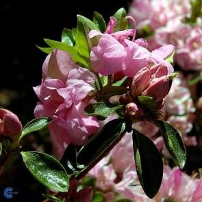'Rosebud' (Rhododendron 'Rose bud') - Buske i 2 liters potter 25-30 cm.