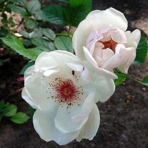 Buskrose (Rosa 'Jacqueline du Pré') - Rosa 'Jacqueline du Pré'