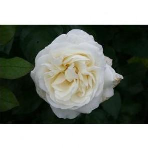 Storblomstret rose (Rosa 'Claus Dalby' ® - Storblomstret rose i 4 l potte