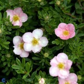 Buskpotentil (Potentilla fructicosa 'Lovely Pink') - Barrodet hæk 20 til 40 cm 3 års