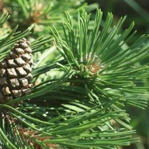 Fransk bjergfyr (Pinus uncinata) - Med jordklump 60-80 cm