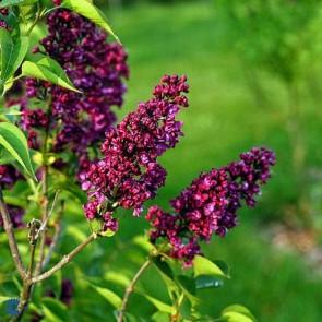 Ægte syren (Syringa vulgaris 'Charles Joly') - C 10,0 Busk