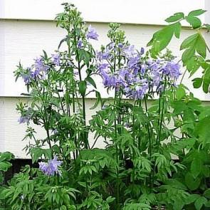 Jakobsstige (Polemonium caeruleum) - Staude i 1 liter potte
