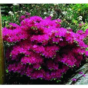 'Kermesina' (Rhododendron 'Kermesina') - Buske i 2 liters potte 20-25 cm