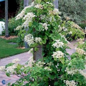 Klatre hortensia (Hydrangea anomala subsp. petiolaris) - 5 liter potte 60-80 cm
