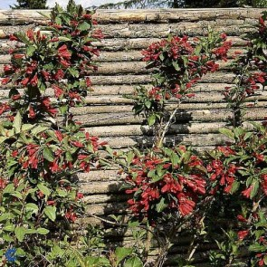 Klokkebusk (Weigela 'Bristol Ruby') - Buske i 5 liters potte