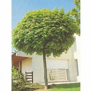 Kugleformet spidsløn (Acer platanoides 'Globosum') - Podet træ på 150 cm stamme