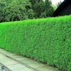 Liguster (Ligustrum vulgare 'Liga') - (LEVERING FRA 5.OKT) -2 års planter 50-80 cm, 3 til 5 grene