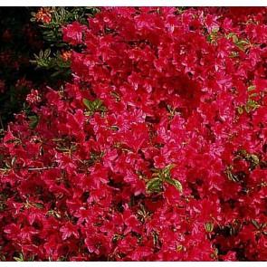 'Morgenrot' (Rhododendron 'Morgenrot') - Buske i 5 liters potte 30-40 cm