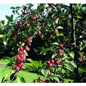 Paradisæble (Malus 'Hyslop') - Træ i potte 150-175 cm