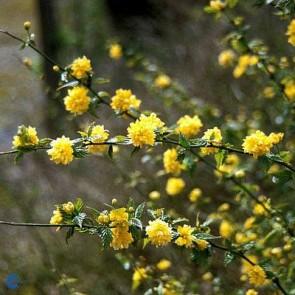 Ranunkelbusk (Kerria japonica 'Pleniflora') - Buske i 5 liters potte