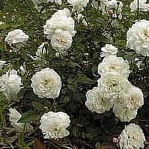 Buketrose (Rosa sempervirens 'Little White Pet') - i 4 l potte