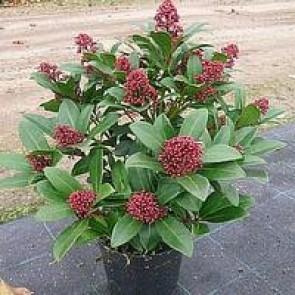 Skimmia (Skimmia japonica 'Rubella') -  Buske i  1 liters potte