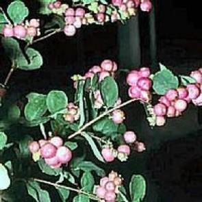 Rød snebær (Symphoricarpos chenaultii) - Barrodet hæk 50-80 2 års